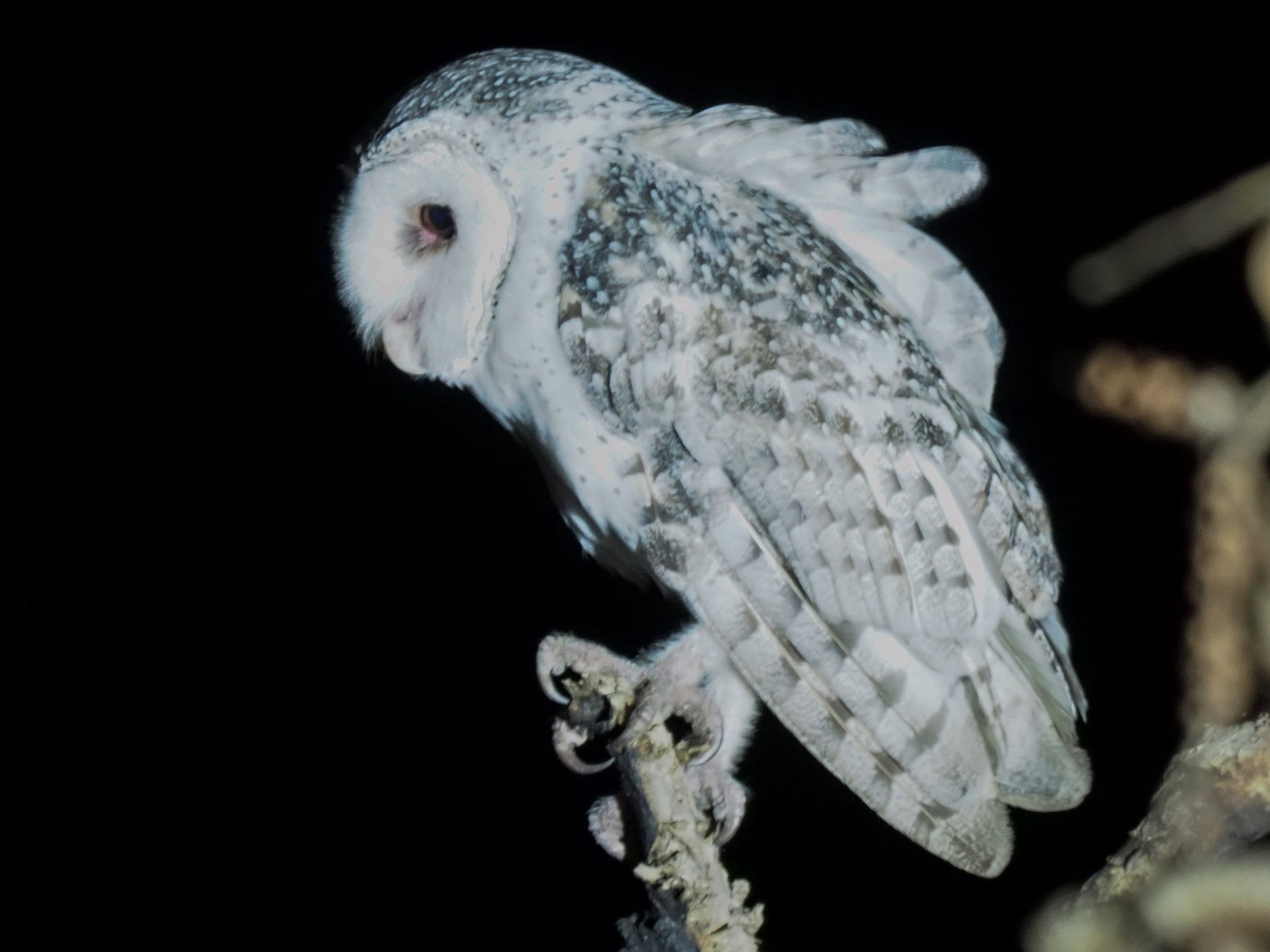 Australian Masked-Owl - Diane Peters