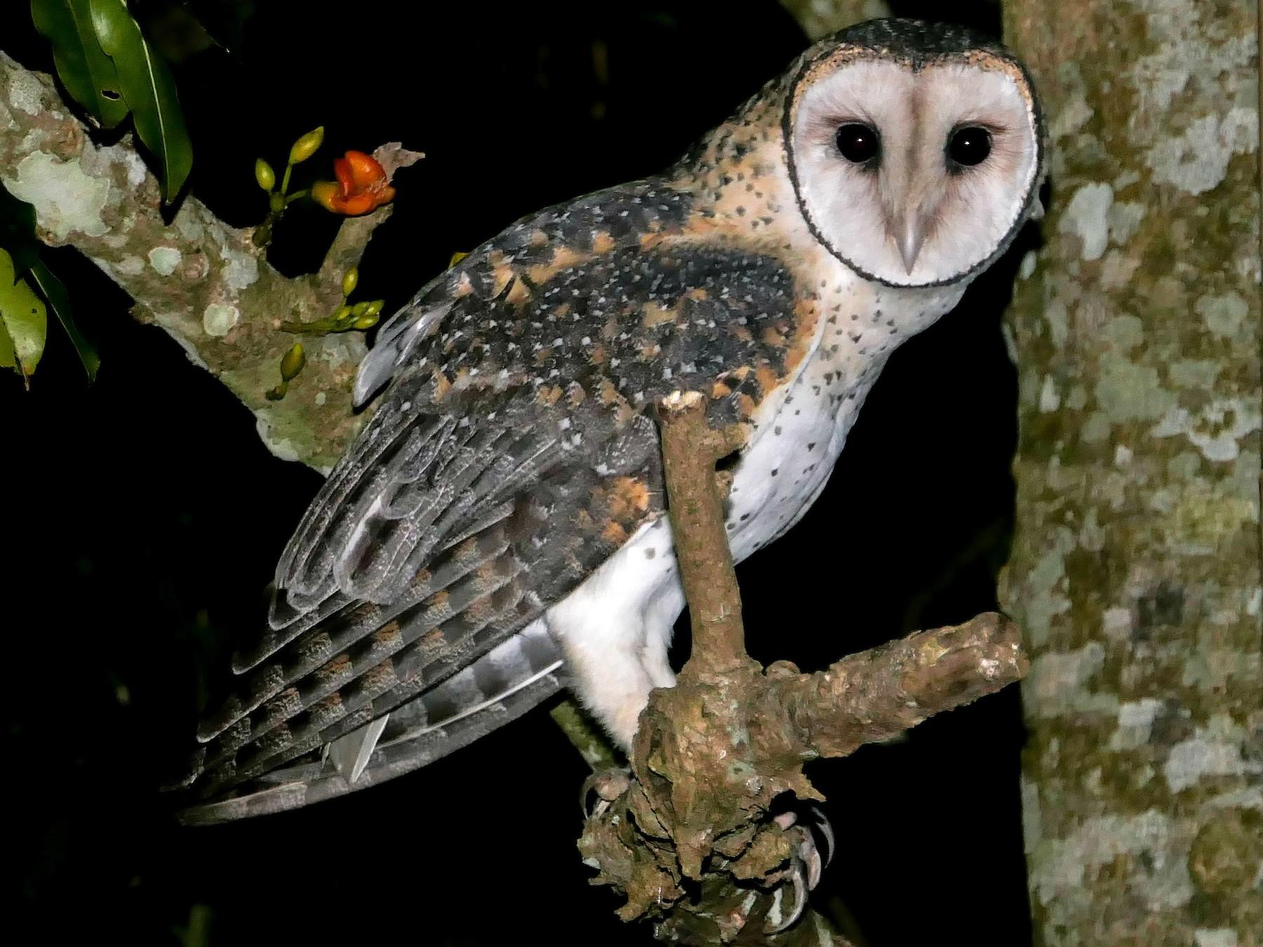Australian Masked-Owl - Hans Erken