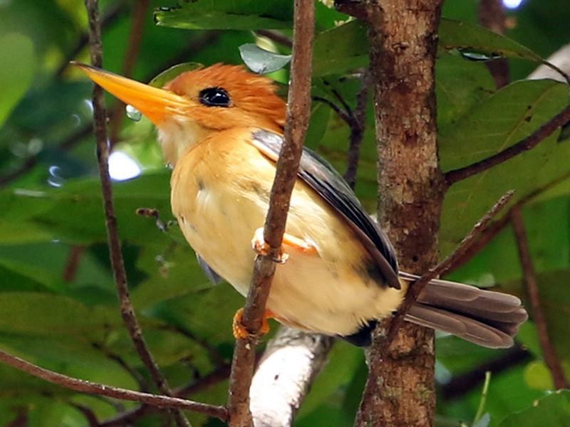 Yellow-billed Kingfisher - Roksana and Terry