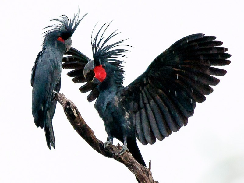 Palm Cockatoo - Luke Shelley
