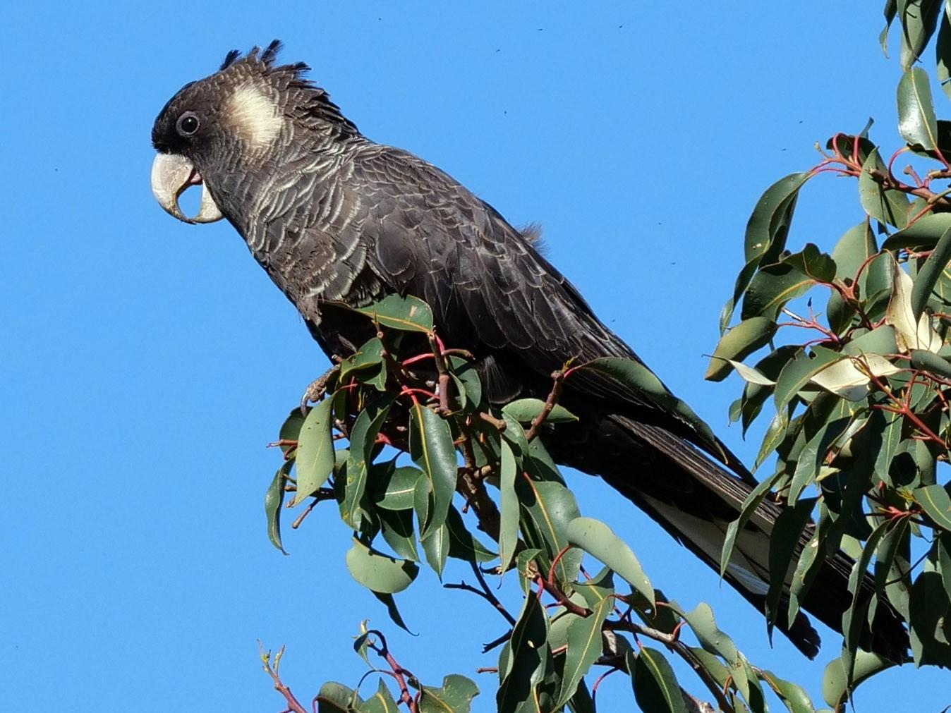 Baudin's Black-Cockatoo - Peter Lowe