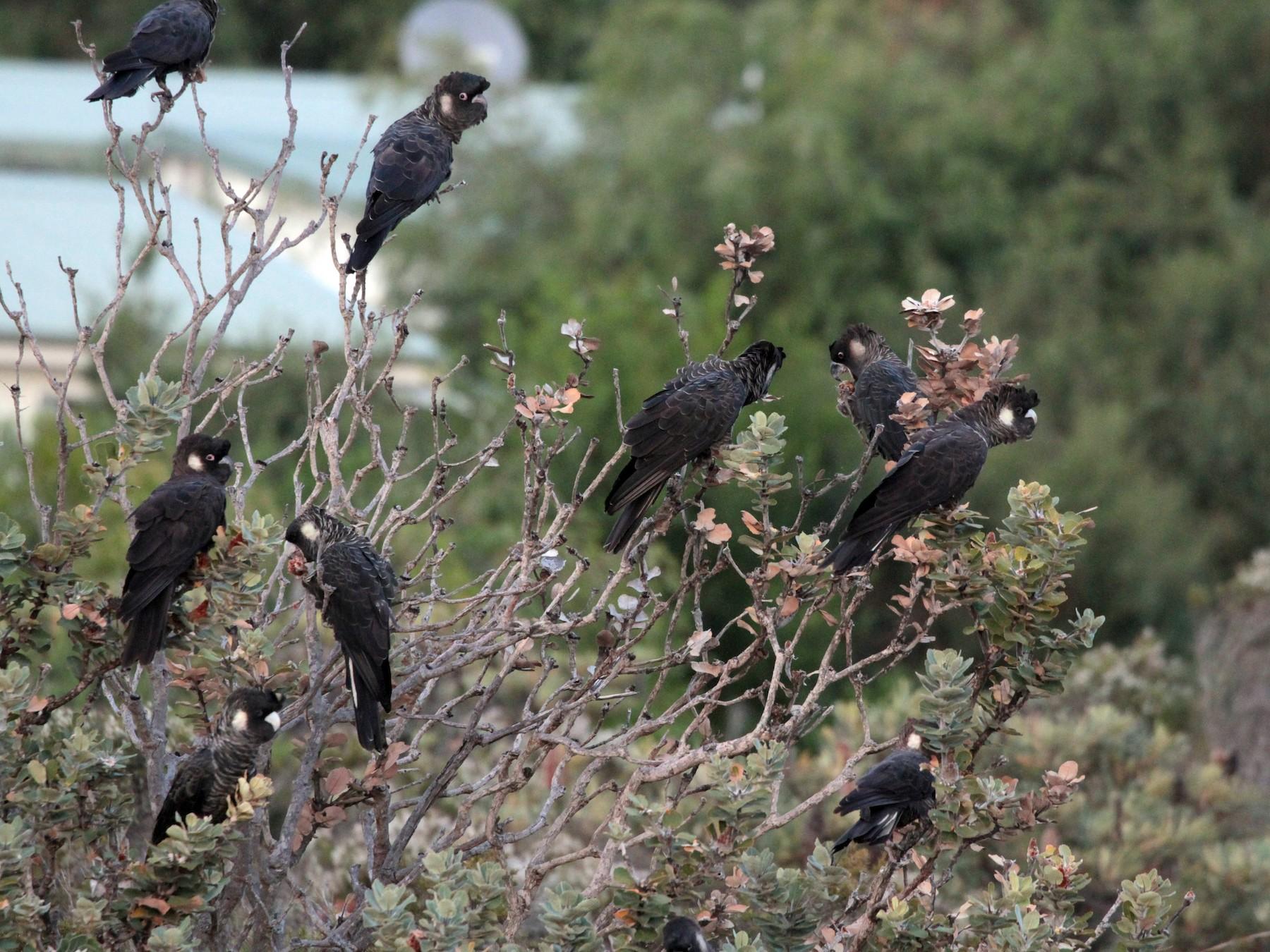 Carnaby's Black-Cockatoo - Corey Callaghan