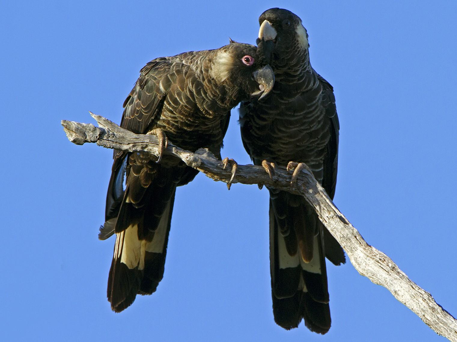 Baudin's Black-Cockatoo - Stephen Murray