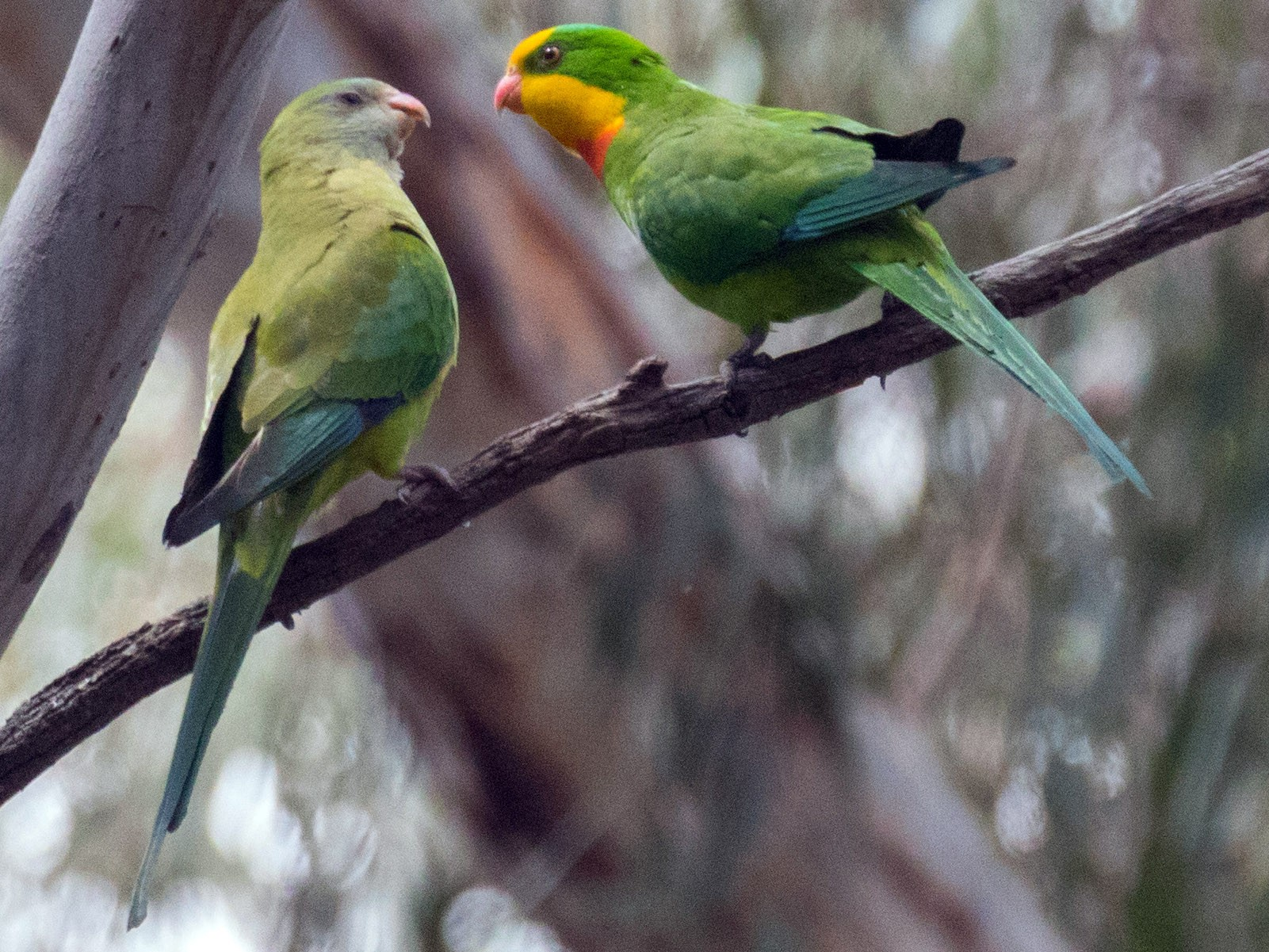 Superb Parrot - Dixie Sommers