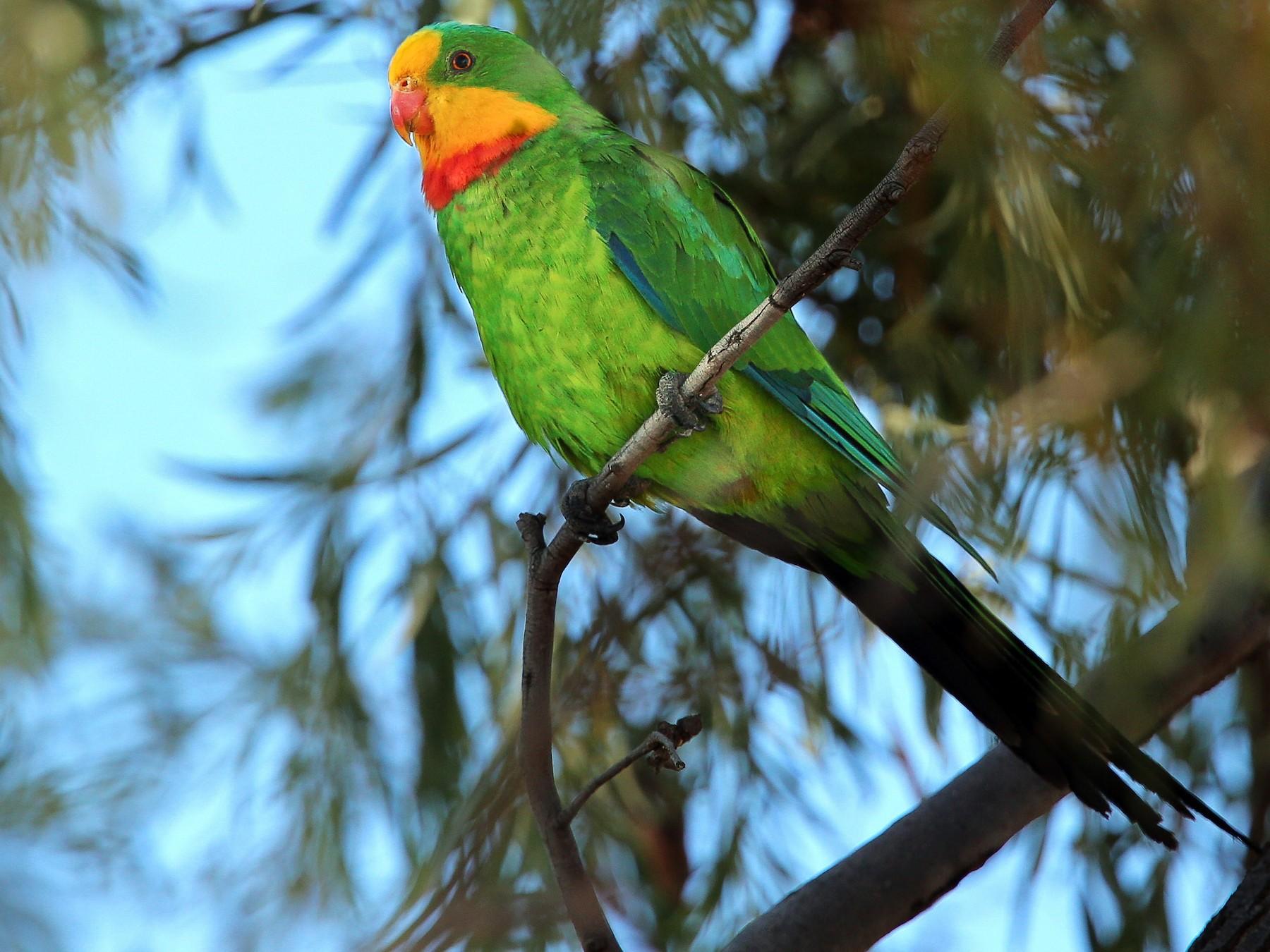 Superb Parrot - Alex Burdo