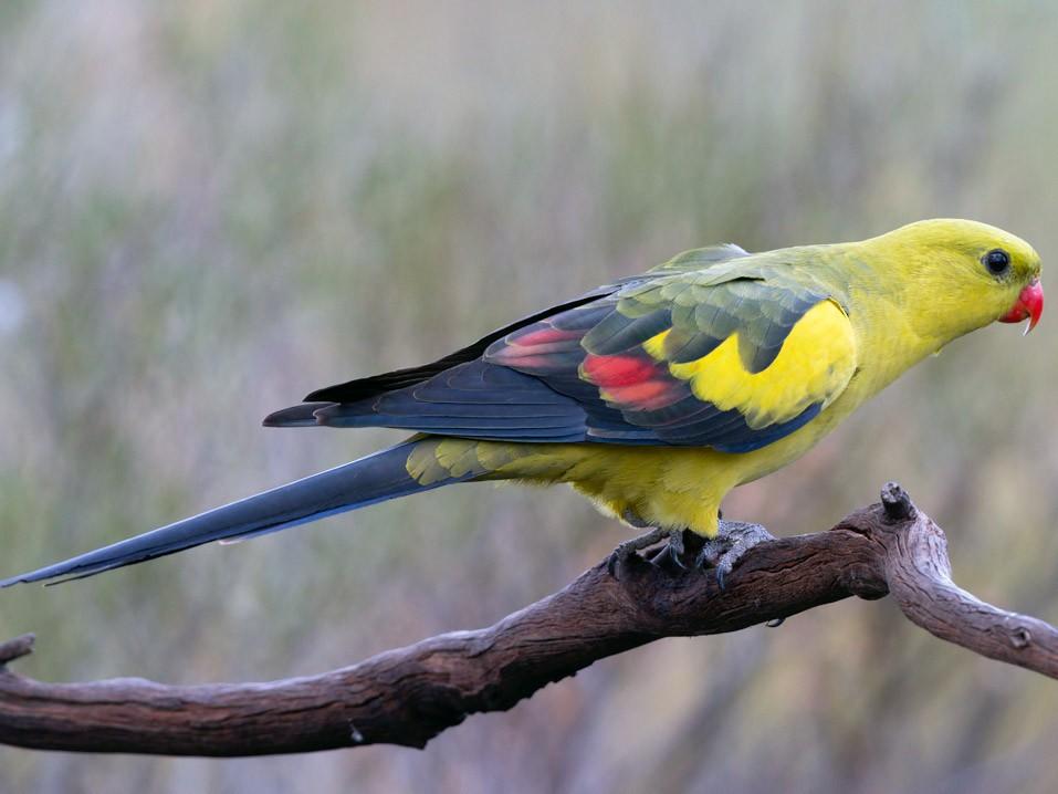 Regent Parrot - Barry Deacon
