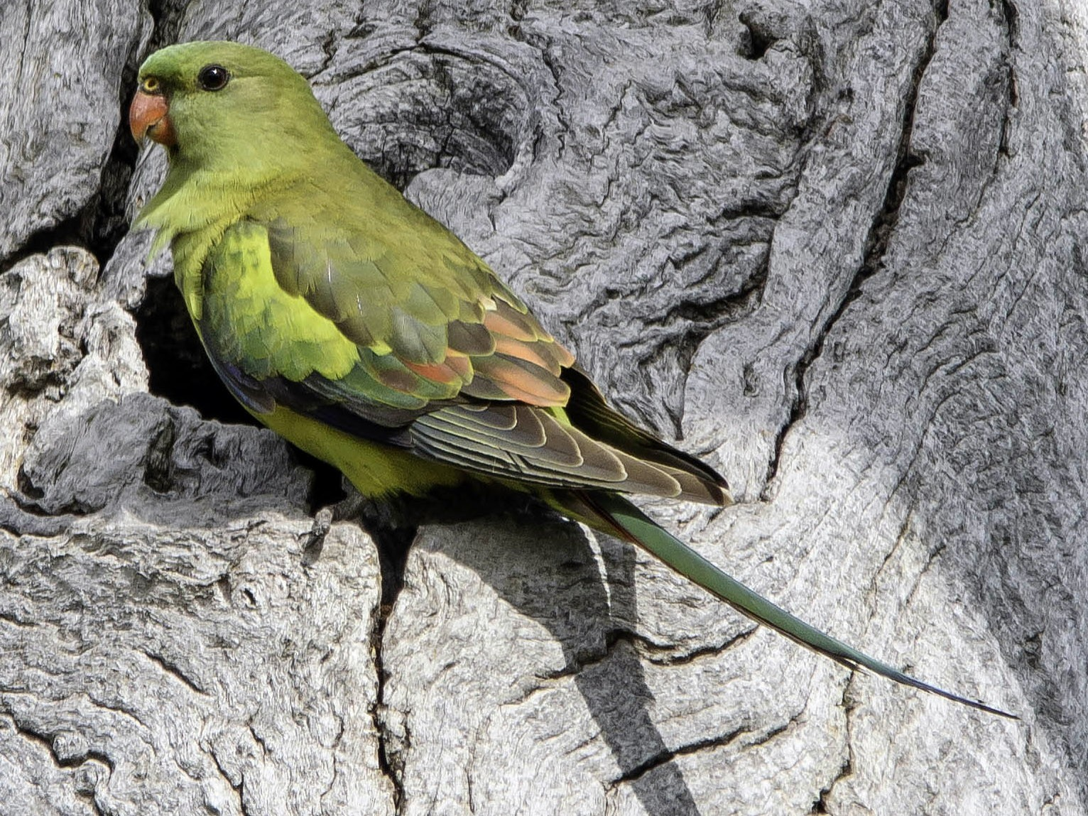 Regent Parrot - Adam Fry
