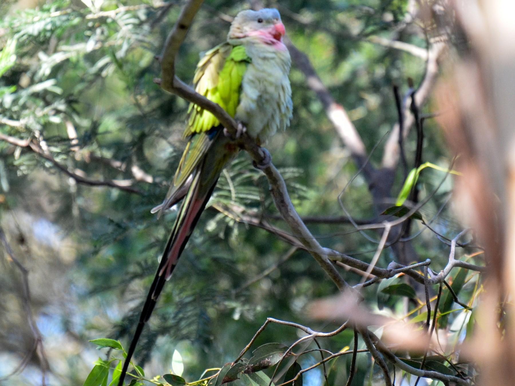 Princess Parrot - Bruce Wedderburn