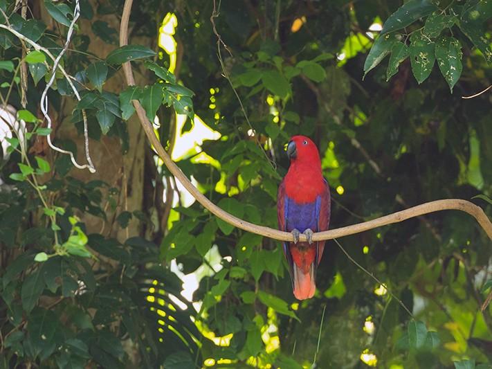 Eclectus Parrot - Jeroen Vanheuverswyn