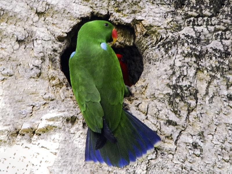 Eclectus Parrot - Narca Moore-Craig