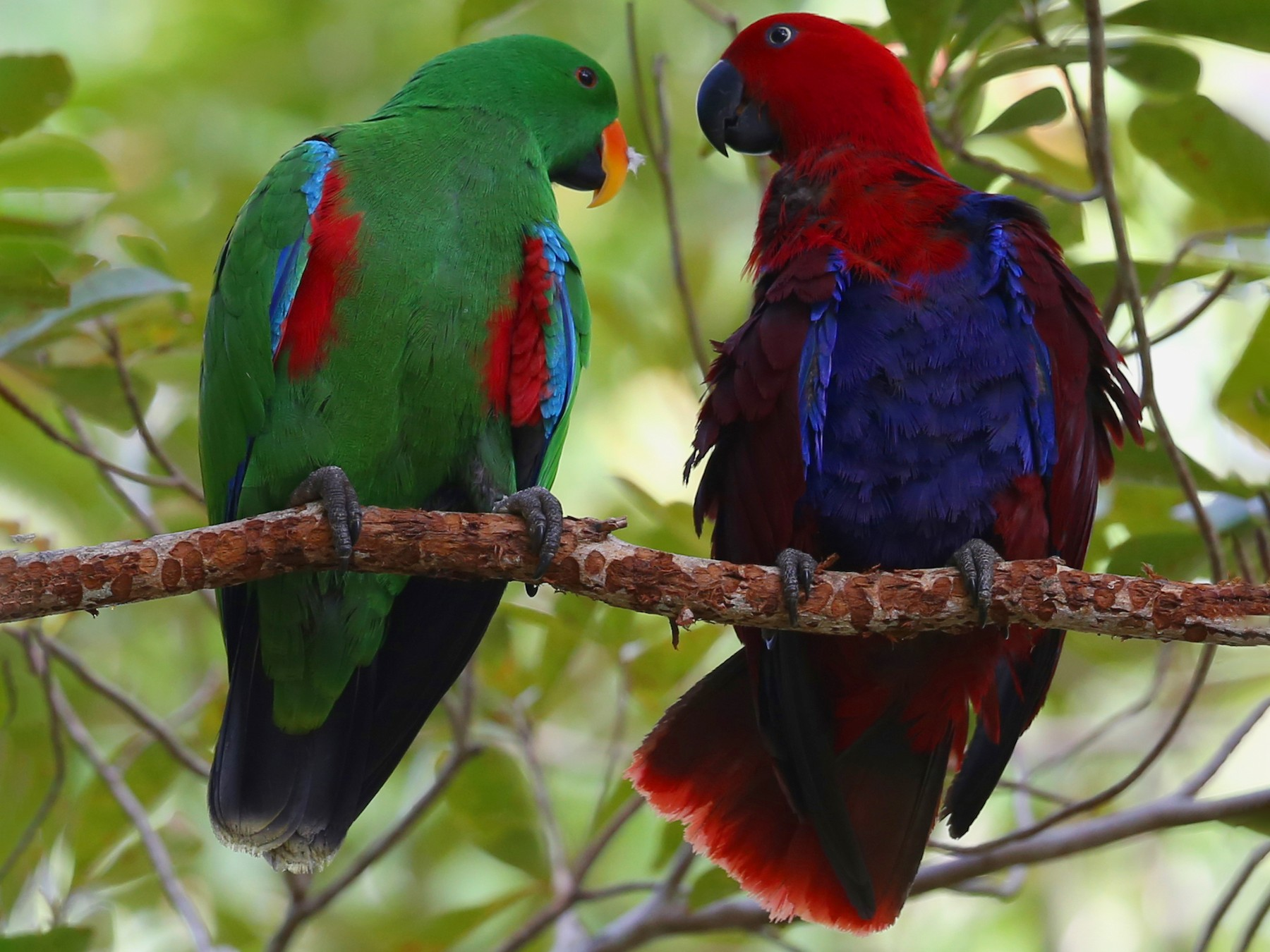 Eclectus Parrot - Doug Herrington || Birdwatching Tropical Australia Tours
