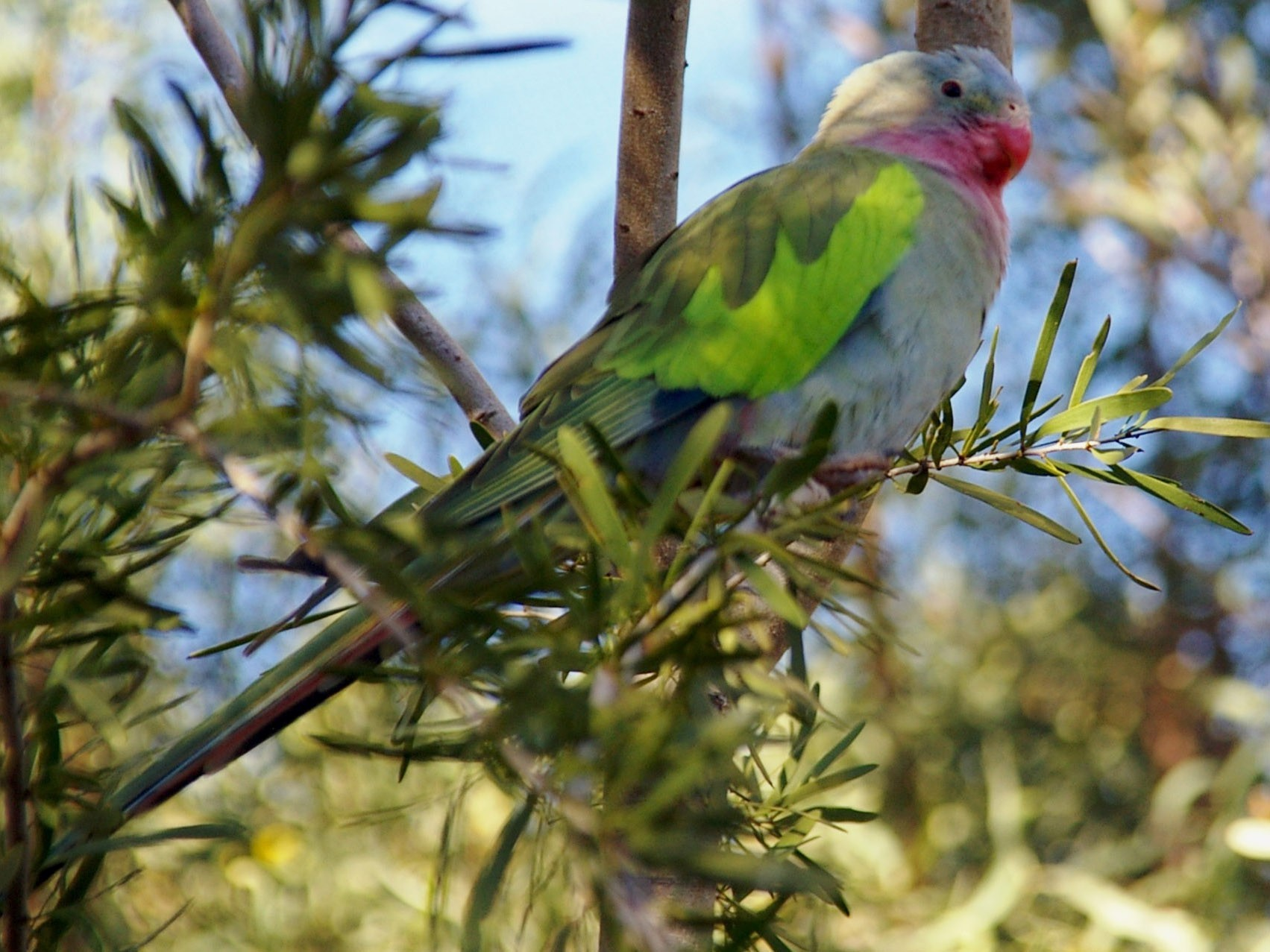 Princess Parrot - Greg & Jeanette Licence