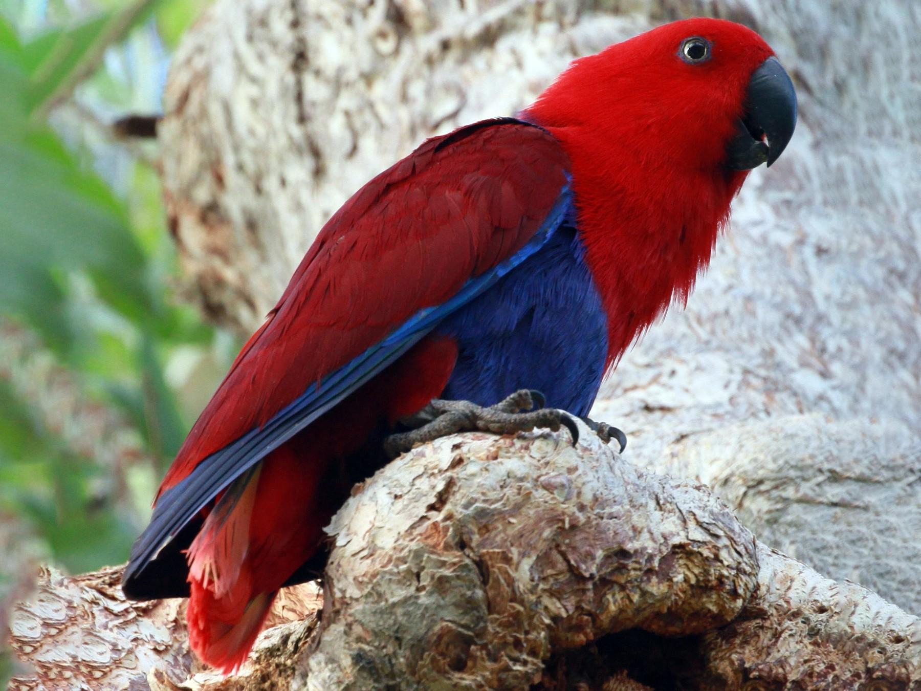 Eclectus Parrot - stephen bennie