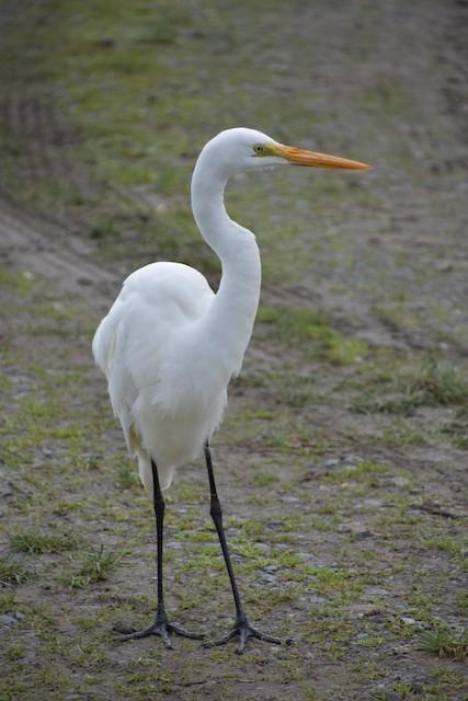 Great Egret (Australasian)
