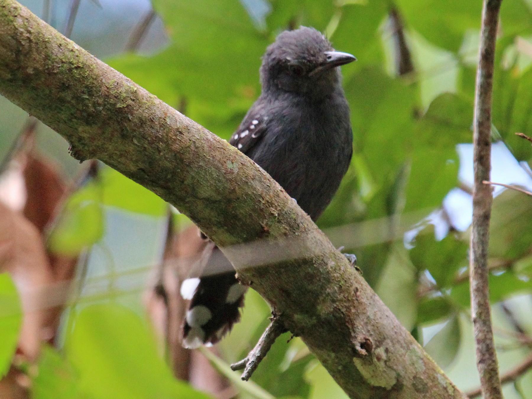 Gray Antbird - Alexander Lees