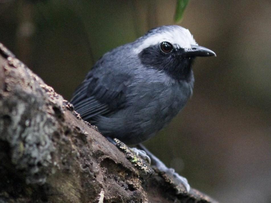 White-browed Antbird - Justyn Stahl