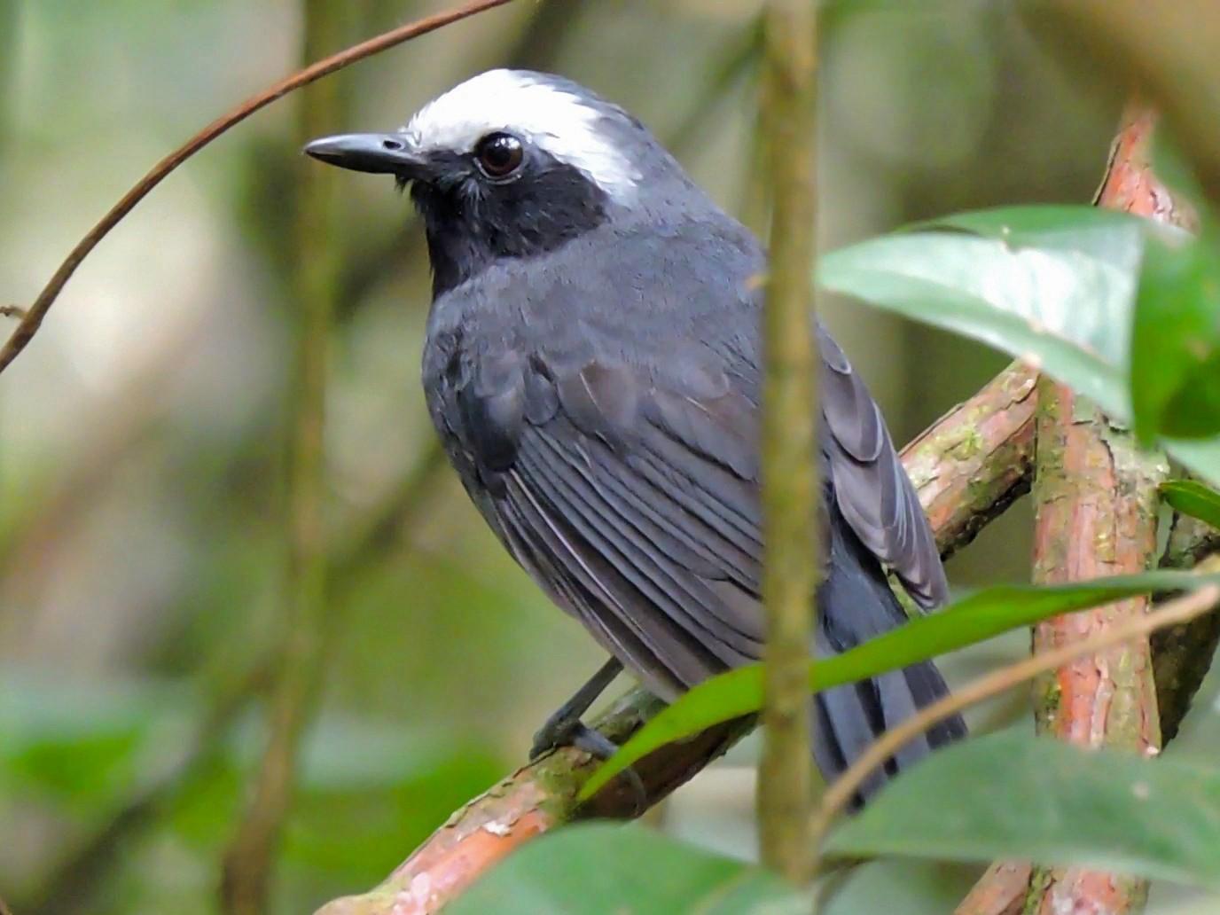 White-browed Antbird - Edwin Munera