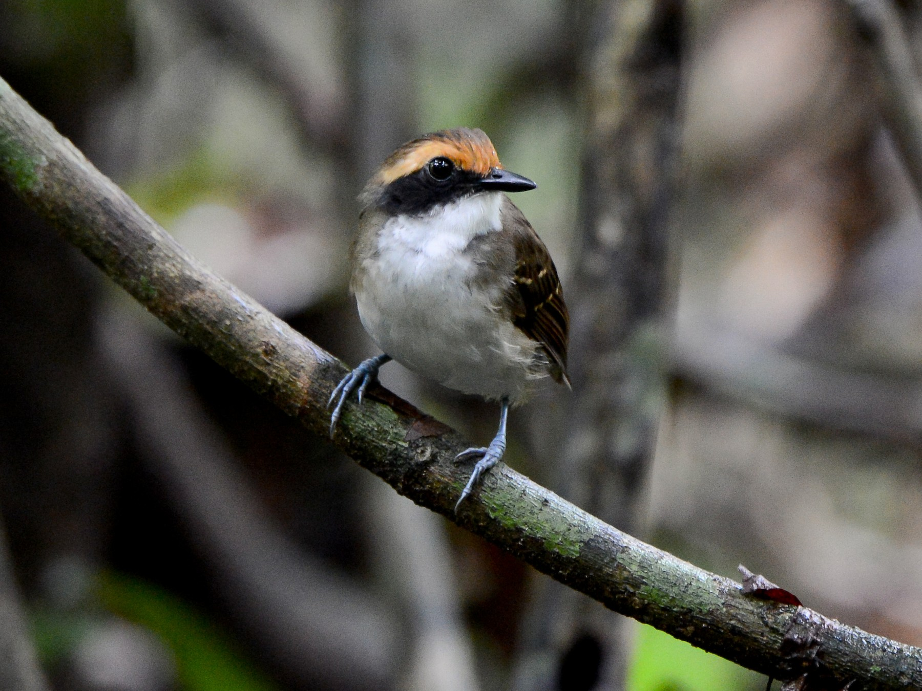 White-browed Antbird - Erik Martin