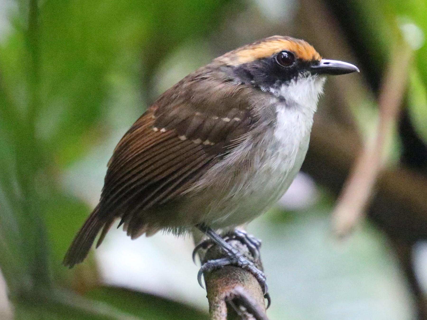 White-browed Antbird - Knut Hansen