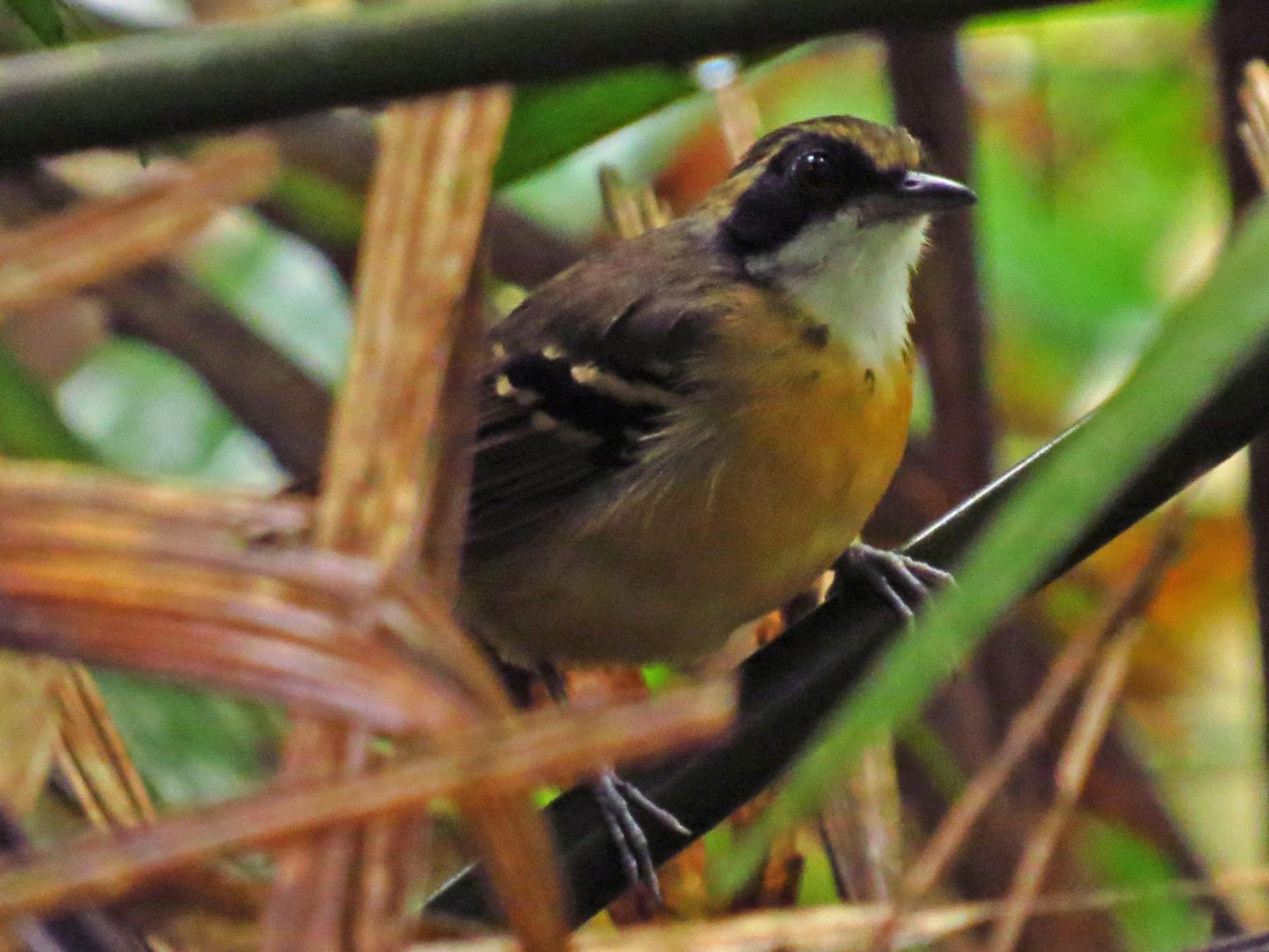 Black-faced Antbird - Jorge Muñoz García   CAQUETA BIRDING