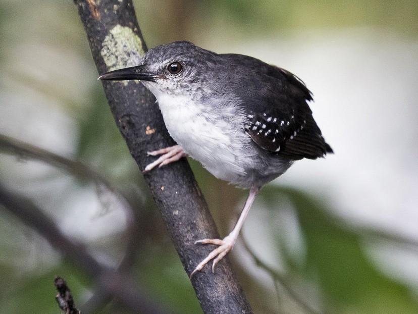 Silvered Antbird - Silvia Faustino Linhares