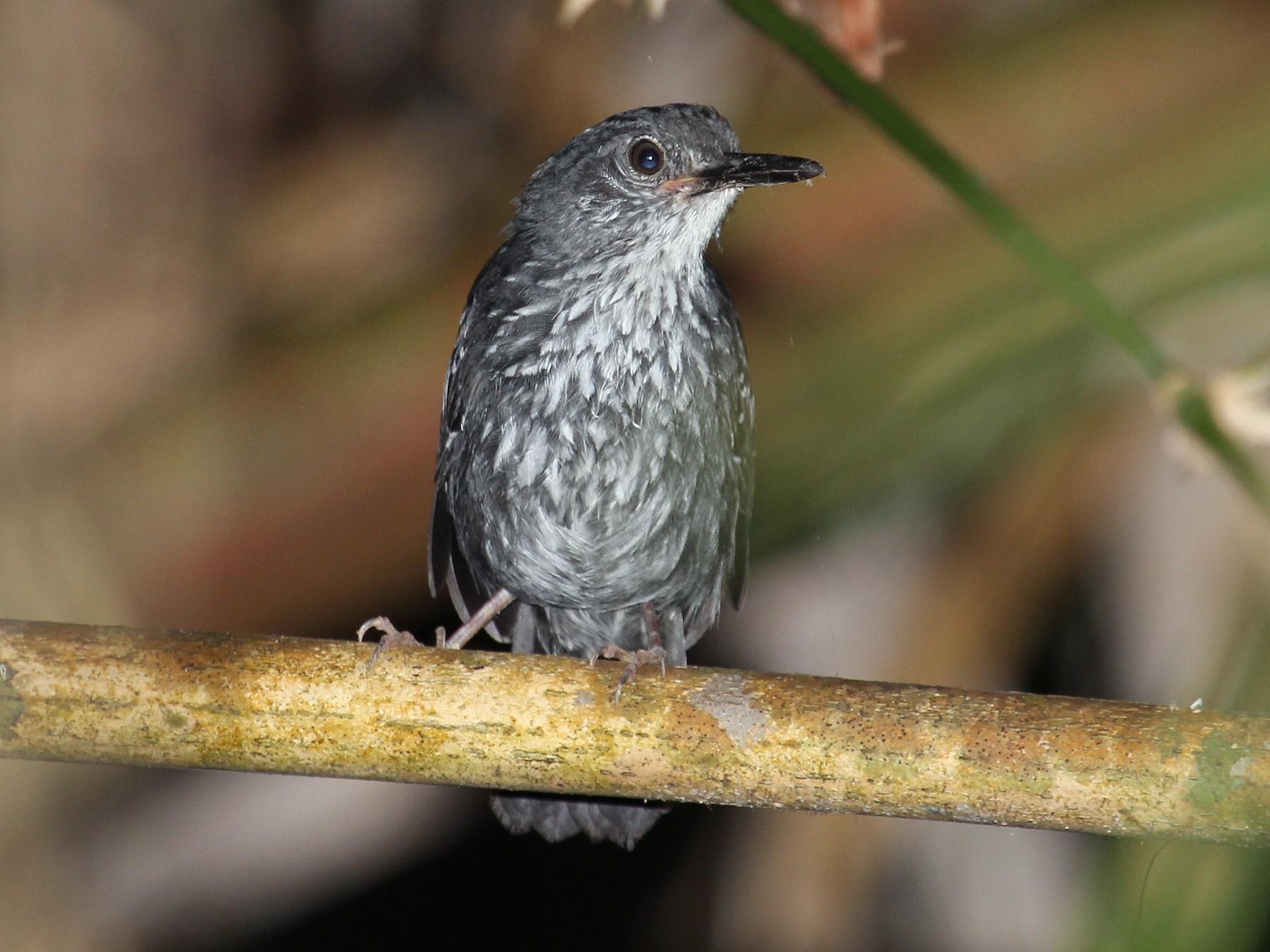 Silvered Antbird - Alexander Lees