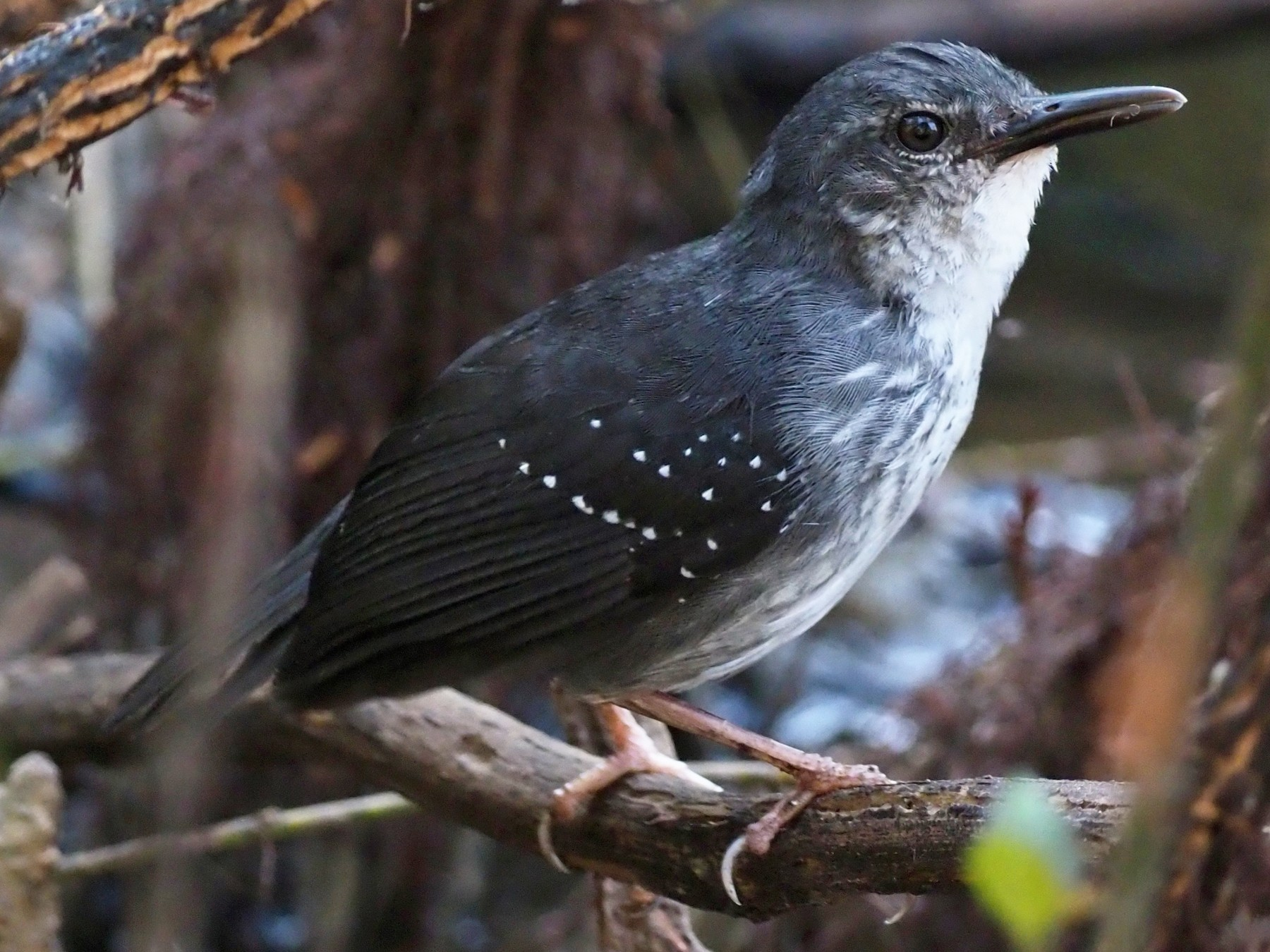 Silvered Antbird - Stephan Lorenz