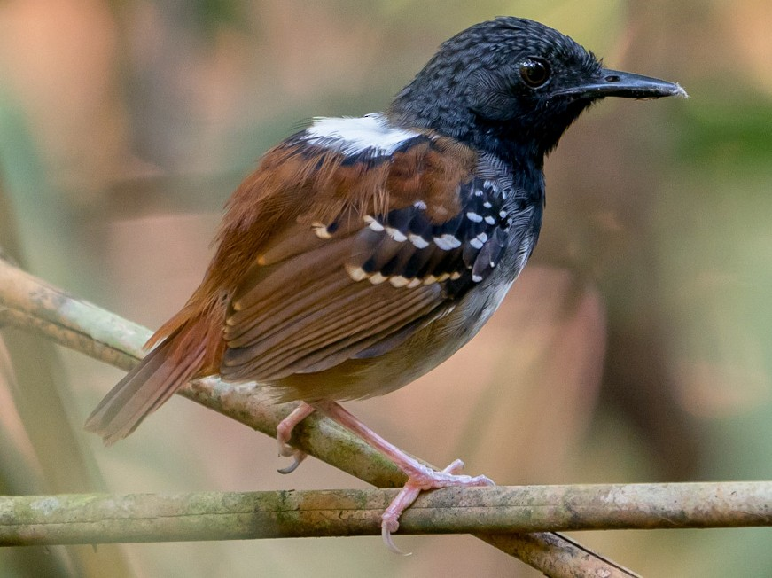 Chestnut-tailed Antbird - Joao Quental JQuental