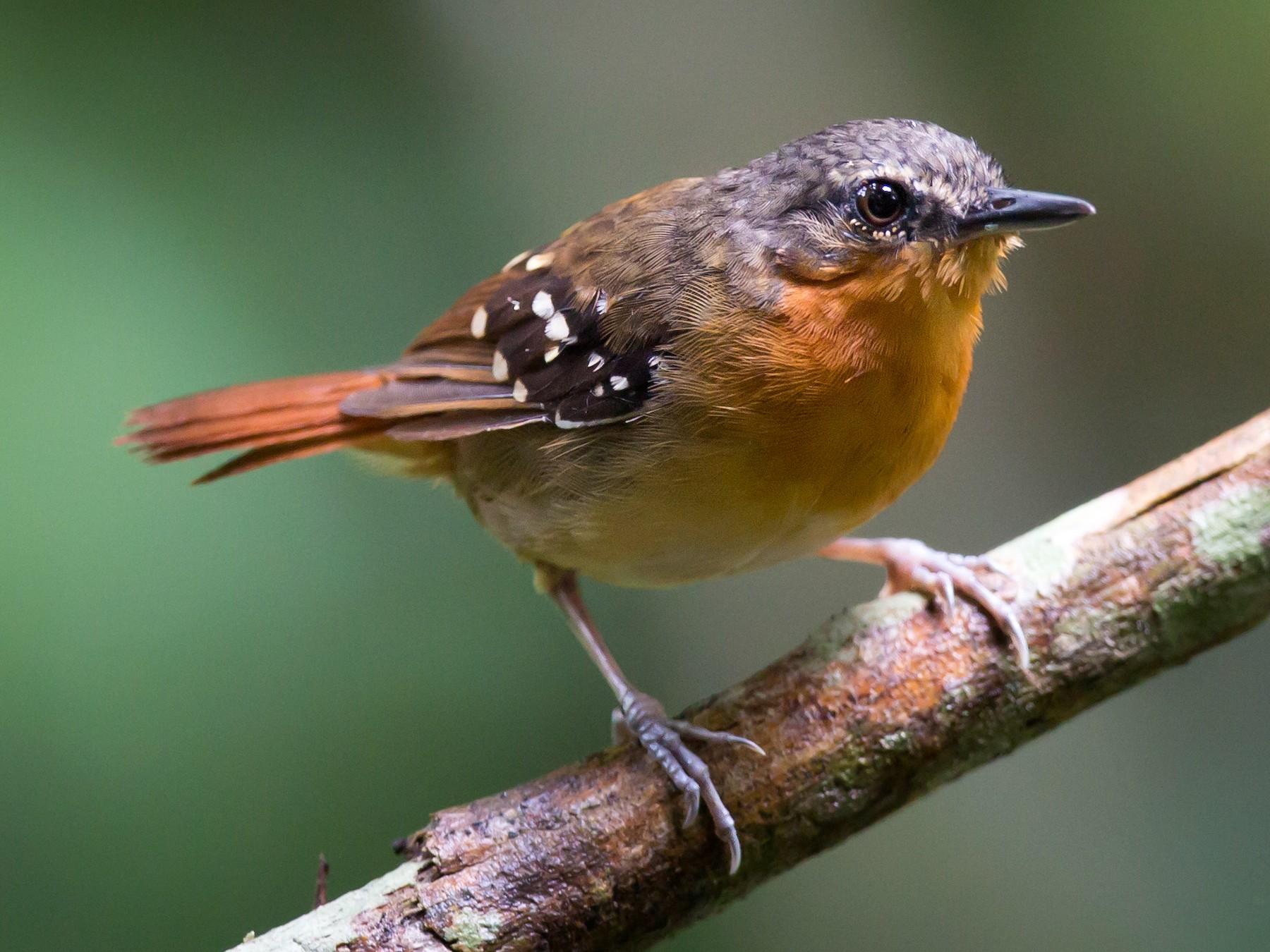 Chestnut-tailed Antbird - Bernardo Roca-Rey Ross