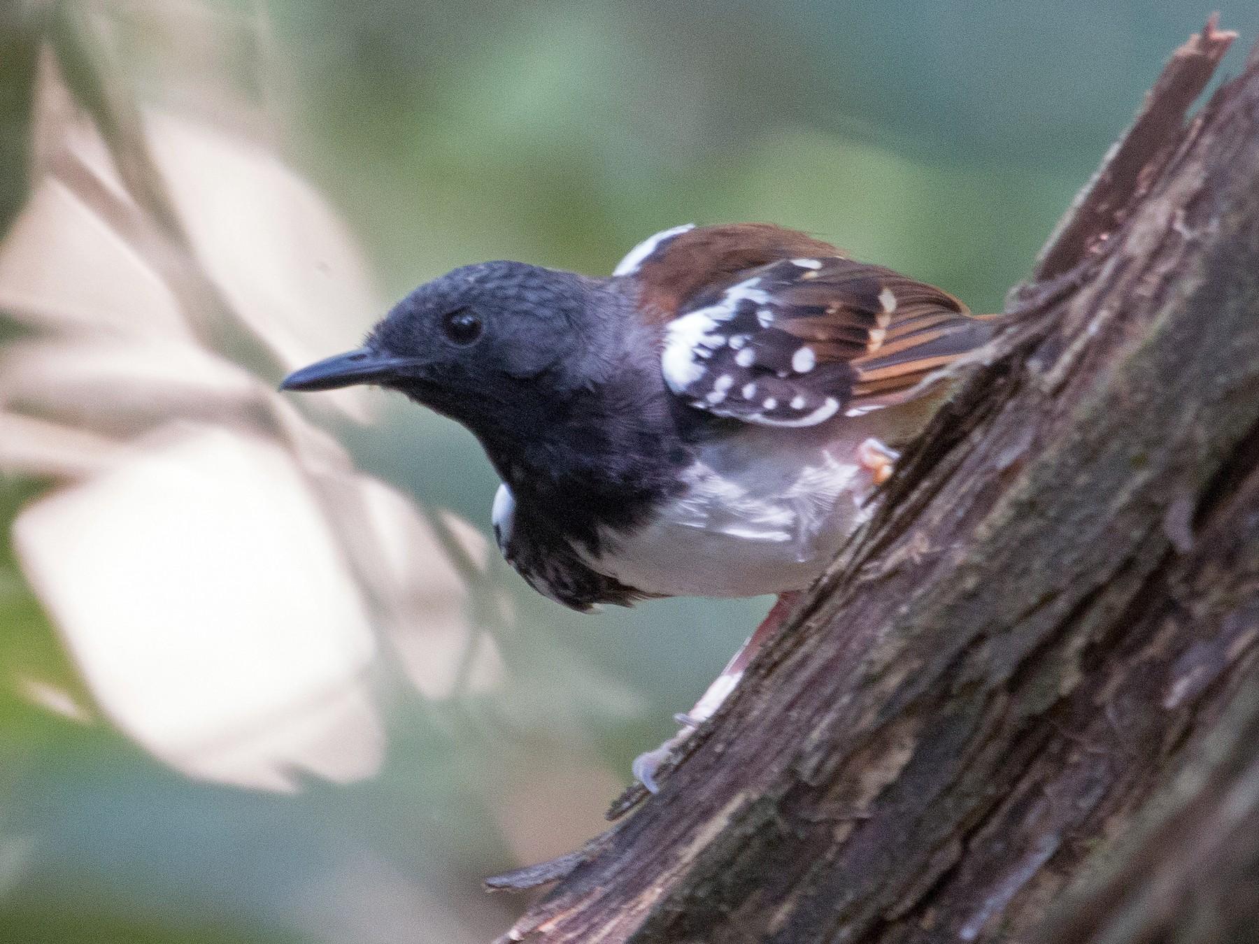 Chestnut-tailed Antbird - Bradley Davis