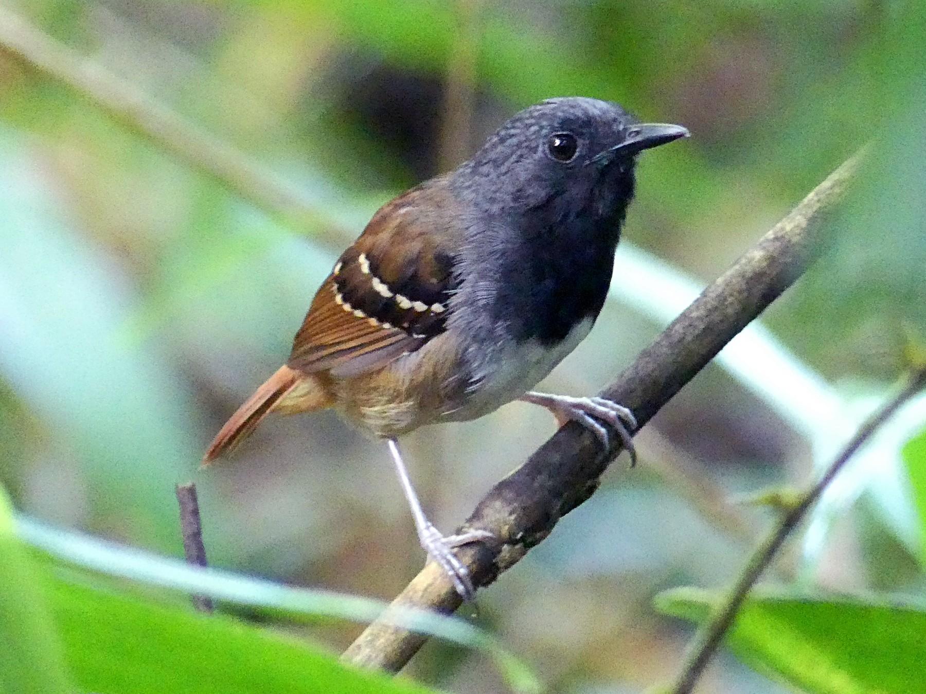 Chestnut-tailed Antbird - Charles Duncan