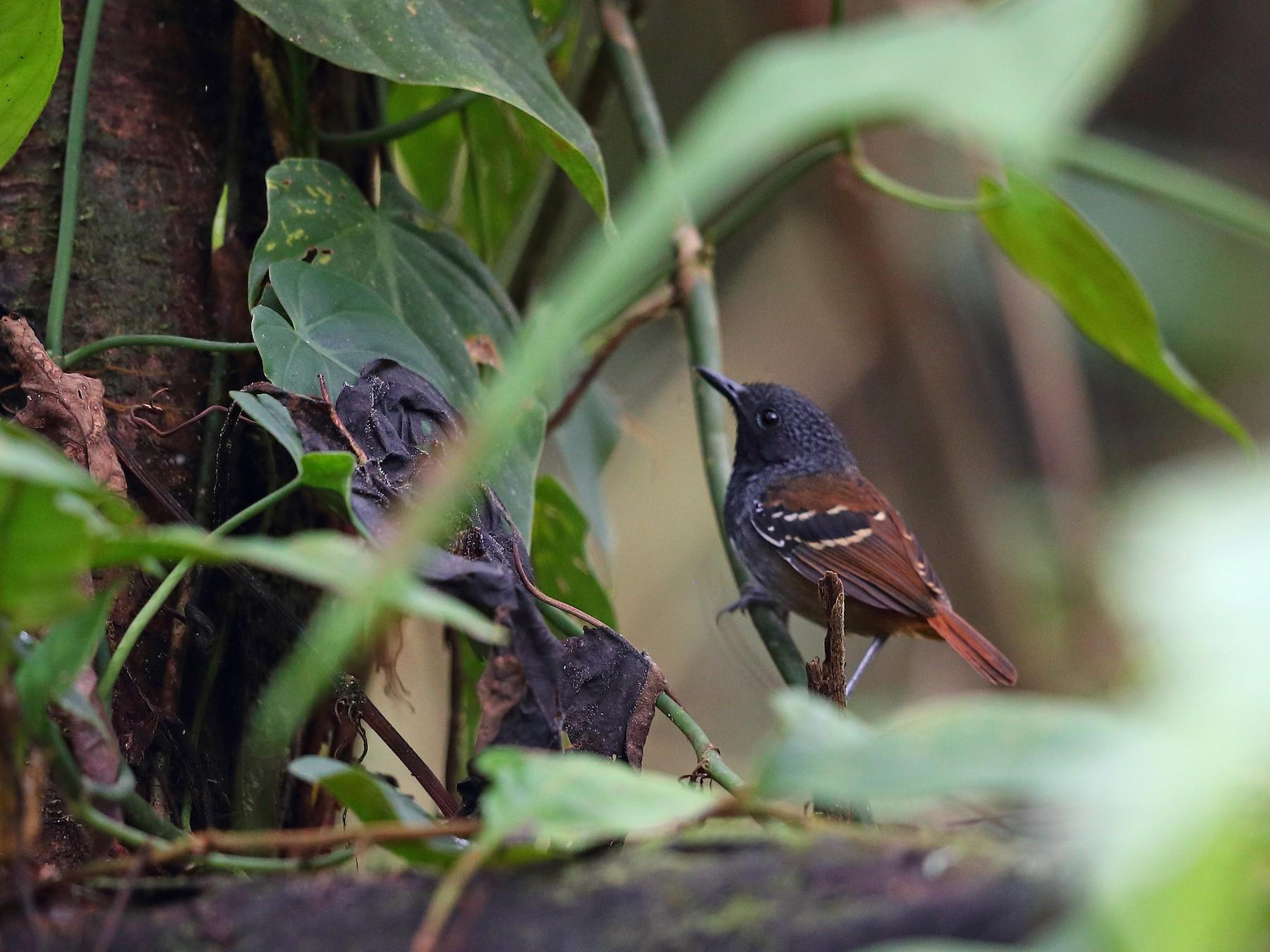 Chestnut-tailed Antbird - Jon Irvine