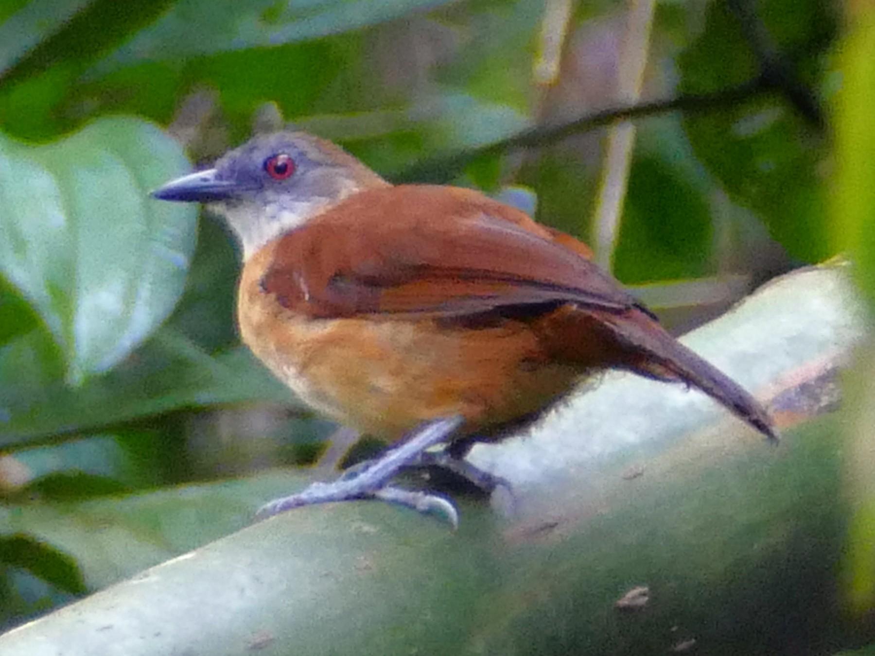 Goeldi's Antbird - Peter Kaestner