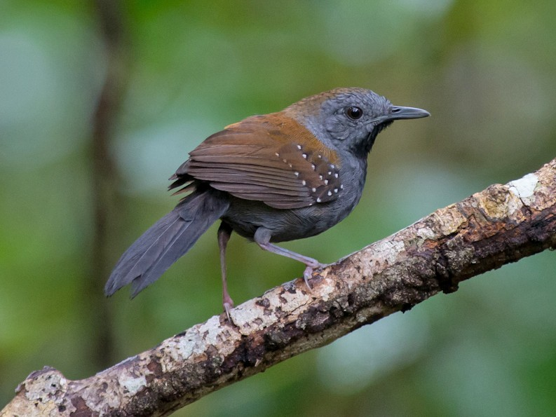 Black-throated Antbird - Joao Quental JQuental