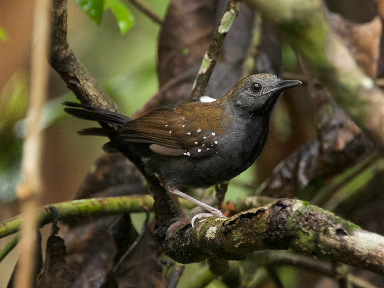 Black-throated Antbird - Diego Cueva