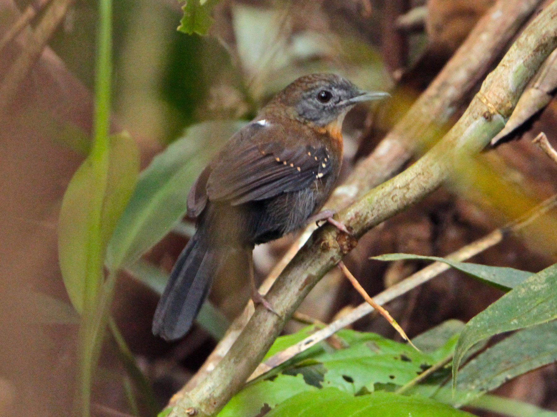 Black-throated Antbird - Marc Gálvez