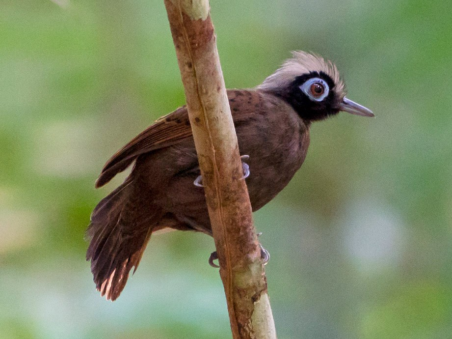 Hairy-crested Antbird - Joao Quental JQuental