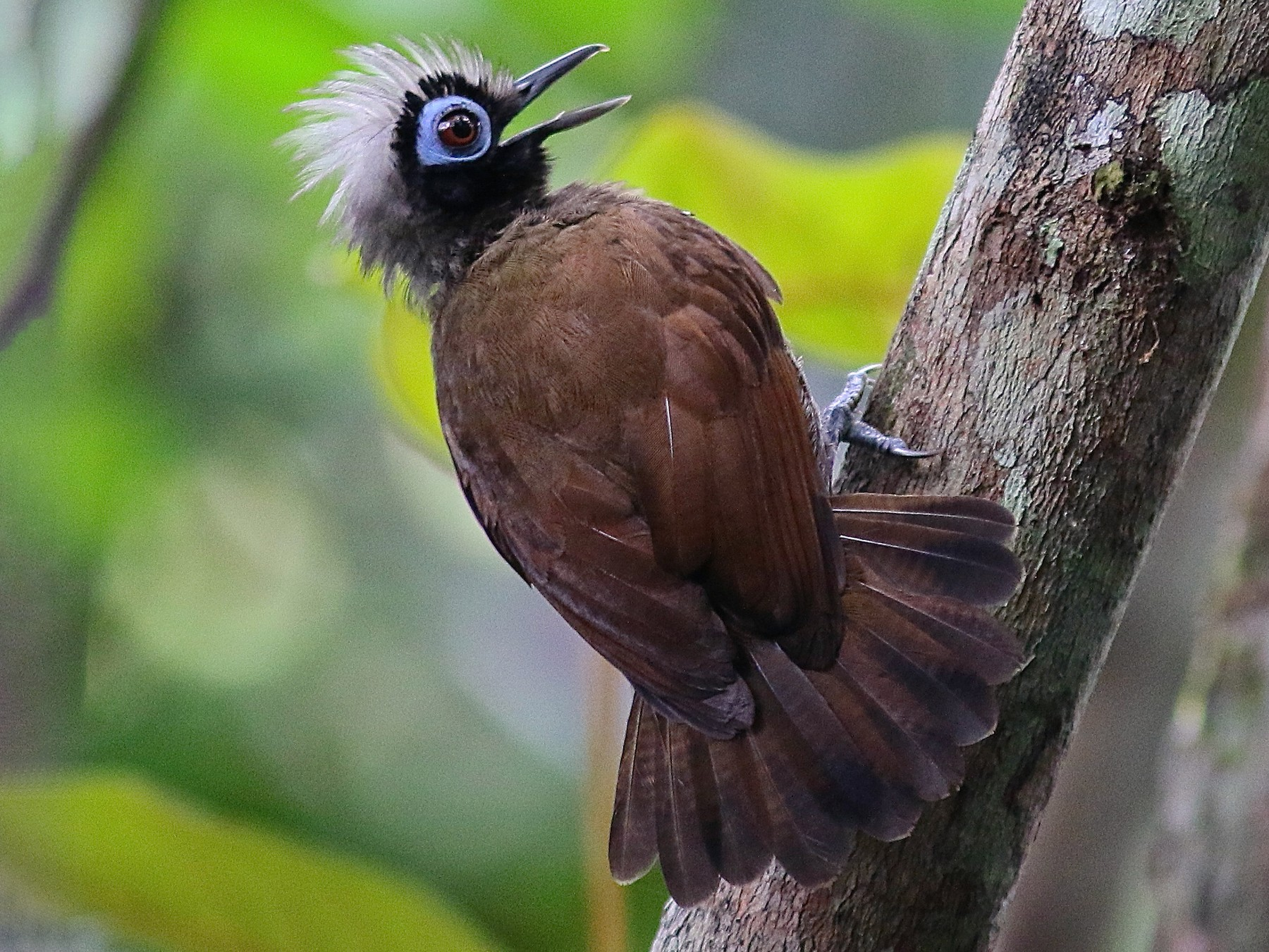 Hairy-crested Antbird - Luiz Matos
