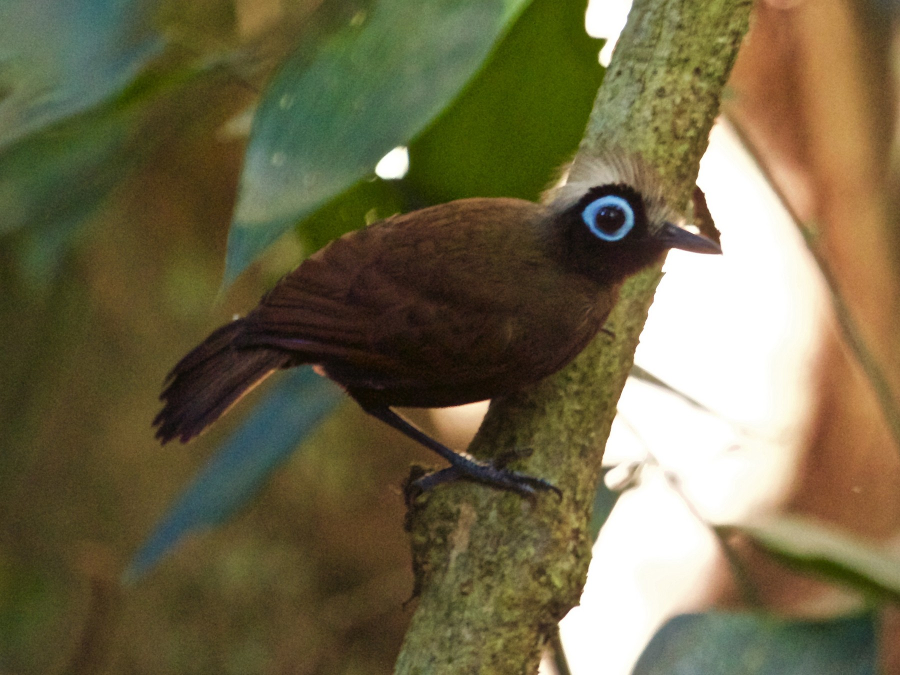 Hairy-crested Antbird - Will Sweet