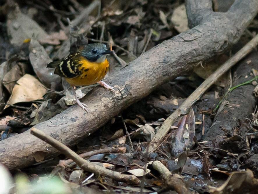 Spot-backed Antbird - Joao Quental JQuental
