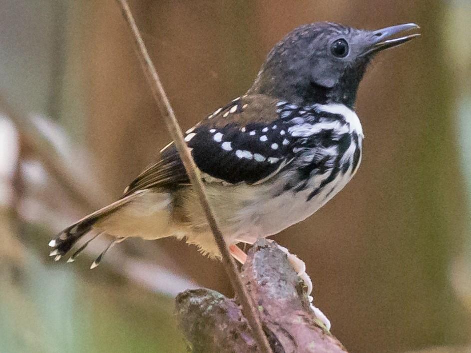 Spot-backed Antbird - Rob Felix