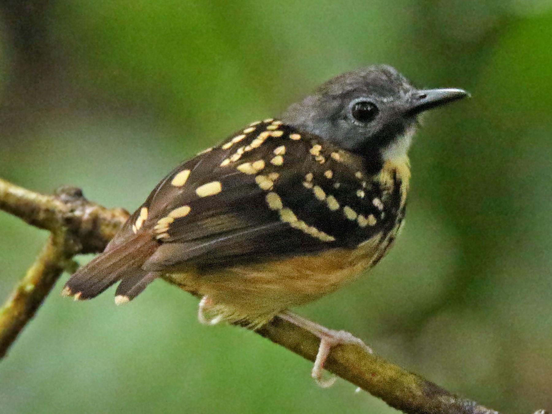 Spot-backed Antbird - Roger Ahlman