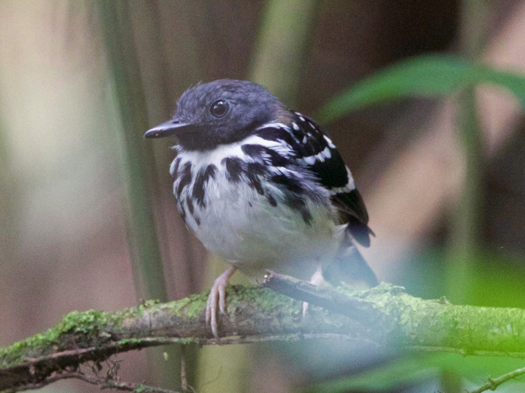 Spot-backed Antbird - Gavin McKinnon