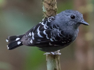- Common Scale-backed Antbird