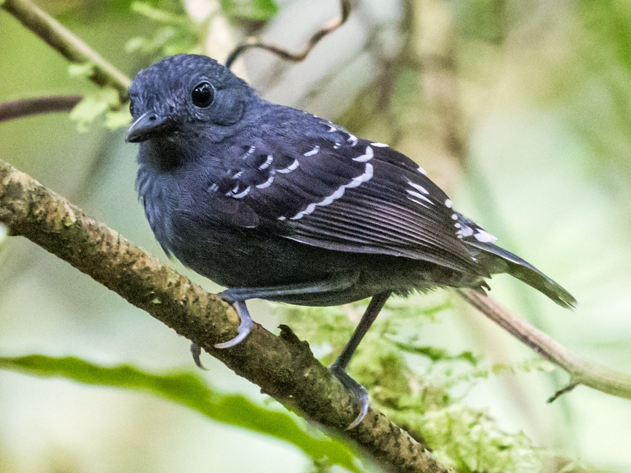 Common Scale-backed Antbird - Nick Athanas