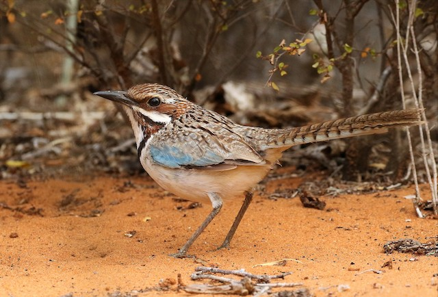 Long-tailed Ground-Roller
