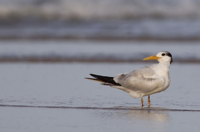 © Paul Cools - Royal Tern (African)