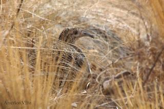 Ornate Tinamou