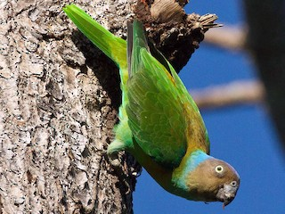 - Red-cheeked Parrot