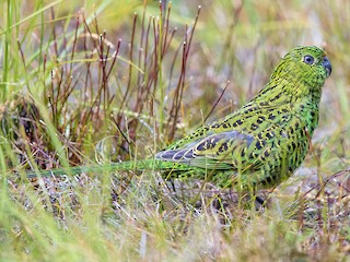 - Ground Parrot (Eastern)
